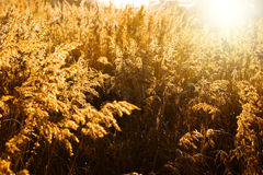 Gold meadow. In summer sun rays Stock Image