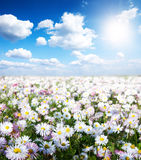 Gold meadow of camomiles. In summer sun rays Royalty Free Stock Photo