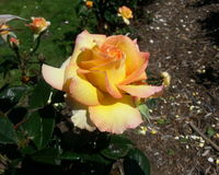 Gold Medal Rose Royalty Free Stock Photos
