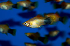 Gold Mickey Mouse Platy Stock Image