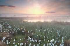 Gold misty sunrise over swamp with cotton-grass Stock Photo