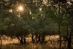 Gold morning sun shine through pear tree leaves, silhouette of. Gold morning sun shines through shades of dark green pear tree leaves, silhouette of black tree Stock Photos