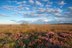 Gold morning sunshine over marsh with heather Royalty Free Stock Image