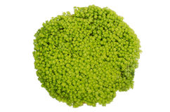 Gold Moss Sedum Stock Photo
