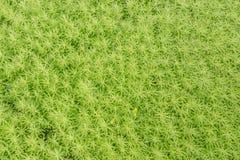 Gold moss sedum Stock Photography