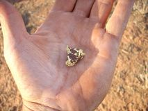 Gold nugget in a man`s hand on the goldfields of Western Australia. Stock Photo