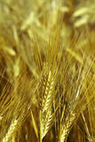 Gold oat Royalty Free Stock Images