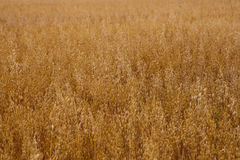 Gold oats background Stock Photos