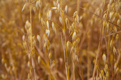 Gold oats background Royalty Free Stock Image