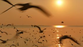The gold ocean with many seagulls at sunset. The scene show many seagulls flying in the sky upper the gold ocean at the sunset,this is soft and blurred scene stock footage