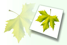 Gold one maple leaf isolated Royalty Free Stock Image