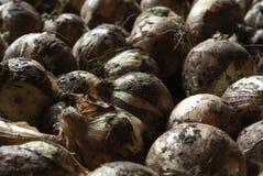 Gold onion. Full organic season Royalty Free Stock Photos