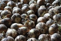 Gold onion. Full organic season Stock Photo