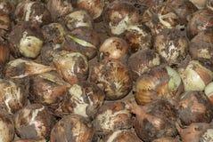 Gold onion. Full organic season Stock Image