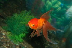 Gold oranda goldfish Royalty Free Stock Photo