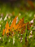 Gold Orange Oak leaf in grass Stock Image