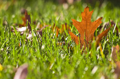 Gold Orange Oak leaf in grass Royalty Free Stock Photos