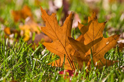 Gold Orange Oak leaf in grass Royalty Free Stock Photo