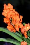 Gold Orange Orchid Stock Photo