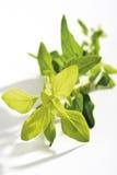Gold oregano,Oreganum vulgare, Wild marjoram Royalty Free Stock Images
