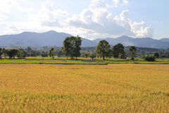 Gold paddy field Stock Image