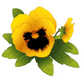 Gold Pansy & Bud. Golden yellow pansy and bud on a white background. EPS8 compatible Royalty Free Stock Photography