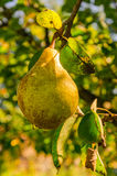 Gold pear Stock Images