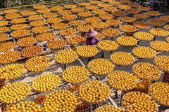 Free Gold Persimmons With A Working Farmer Royalty Free Stock Images - 160987329