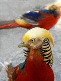 Gold pheasant Royalty Free Stock Photos