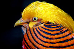 Gold pheasant head close-up Stock Images