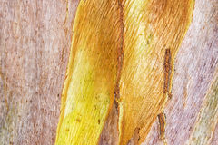 Gold and pink tones of bark on a tree. Close up tree bark background, forest tree Royalty Free Stock Photo