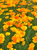 Gold Poppies Stock Image