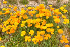 Gold Poppies Royalty Free Stock Photography
