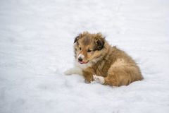 Gold puppy in the snow. Gold sheltie puppy lying in the snow in winter. Dog portrait stock photo