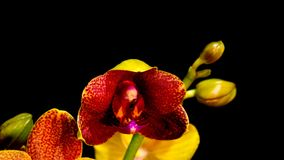 Gold and purple orchid time lapse. Gold and purple phalaenopsis orchid blossom opening slowly in time lapse on black background stock video