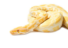 Gold Python,Abino snake Stock Photo