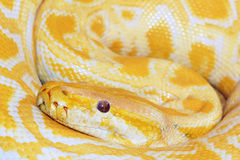 Gold python Stock Photos