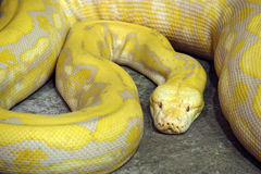 Gold python Stock Photography