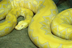Gold python Royalty Free Stock Image