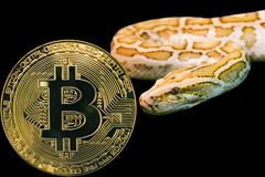 Gold Python and coin cryptocurrency bitcoin. btc. Concept yellow snake and coin cryptocurrency BTC. Bitcoin stock photo