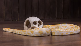 Gold python with human skull Royalty Free Stock Photography