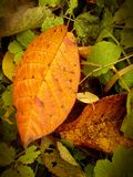 Gold and red bird-cherry leaves in autumnal Siberia forest Royalty Free Stock Image