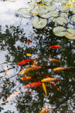 Gold and red carps in water which reflects trees Stock Photos