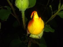 Gold and red rose bud royalty free stock photos