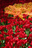 Gold and red Tulip. In holland Stock Photo