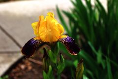 Gold and reddish brown Bearded Iris. Solitary yellow and brown bearded Iris flower Stock Image