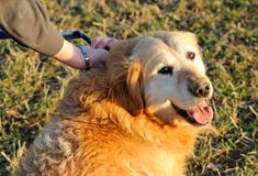 Gold retriever Royalty Free Stock Images