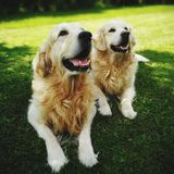 Gold retriever dogs Stock Images