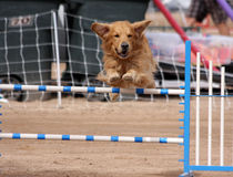 Gold Retriever flying over a jump. In an agility course royalty free stock image