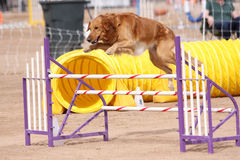 Gold Retriever jumping an obstacle. In agility course royalty free stock image